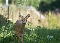 Chevreuil (yann.lerjen) Tags: roe chevreuil animal wildlife nature