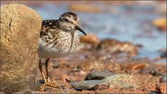 (c)WMH_2019_08_05 Peek a Boo! (WesleyHowie) Tags: birds canada grandpre leastsandpiper location novascotia sandpiper theguzzle wildlife