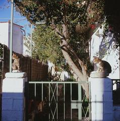 two cats (Vinzent M) Tags: brillant heliar 75 zniv voigtländer kodak portra greece ελλάσ ikaria icaria ικαρία cat