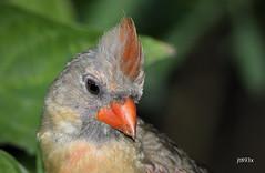 Northern Cardinal (jt893x) Tags: 150600mm bird cardinal cardinaliscardinalis d500 jt893x nikon nikond500 northerncardinal portrait sigma sigma150600mmf563dgoshsms