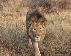 World Lion Day 2019 (The Spirit of the World ( On and Off)) Tags: worldlionday male lion nature wildlife grasses bush brush southafrica africa africananimal feline bigcat safaripark gamereserve gamedrive specialsighting mane portrait vulnerable
