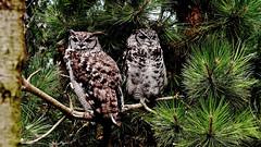 Fleckenuhu (Heimat Südafrika) Spotted Eagle-Owl (dl1ydn) Tags: dl1ydn uhu bird vögel zoo fleckenuhu manual manuell canonfd 3570mm f4 jpeg 24x36