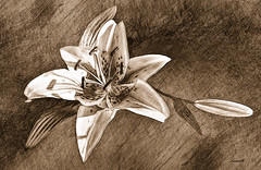 Giglio - Lily (sketch) (Ladmilla) Tags: sl secondlife art exhibition artexhibition digital digitalart flower drawing sketch lily monochrome leonardo leonardodavinci theedge theedgeartgallery gallery texturized textured