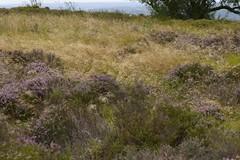 WindyMoor (Tony Tooth) Tags: nikon d600 nikkor 105mm moors moorland heather wind windy blurry gunhill swythamley staffs staffordshire staffordshiremoorlands