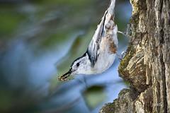 White-breasted Nuthatch (jt893x) Tags: 150600mm bird d500 jt893x nikon nikond500 nuthatch sigma sigma150600mmf563dgoshsms sittacarolinensis whitebreastednuthatch