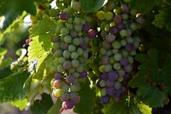 DSC_3004 (griecocathy) Tags: macro végétations fruit raisin vigne gouttelette eau feuille ombre lumière vert violet oranger