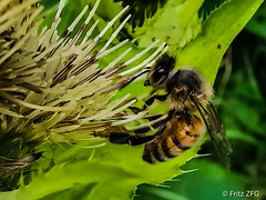 Bee at work (PinoyFri) Tags: biene bee pukyutan abeille ape 蜂 abeja huaweilyal29 蜜蜂 wildbiene distel thistle makro macro besucher visitors visitantes visiteurs زوار посетителей দর্শক abelha пчела मधुमक्खी