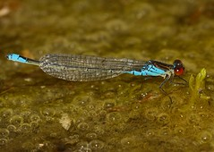 Small red eyed damselfly (Severnrover) Tags: odonata damselflies damselfly red eyed small macro photography nature insect insects