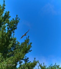 Red Tailed Hawk 1 (RayTheriault) Tags: