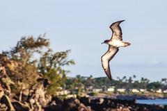 'Ua'u kani (Just BS) Tags: bird nature wildlife animal maui hawaii seabird canon shearwater portrait
