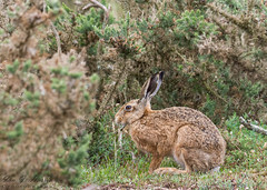 Suffolk Hare (ian._harris) Tags: life nature animals closeup coast suffolk sand nikon hare wildlife natur d750 g2 tamron naturephotography 150600mm camera uk england naturaleza cute outside photography photo flickr day photographer shot image zoom britain outdoor united great picture kingdom visit snap telephoto photograph gb capture visitor b wild wilde