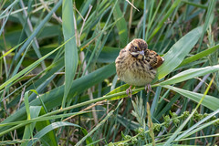 Reed bunting (female) (Mibby23) Tags: reed bunting emberiza schoeniclus bird wildlife nature cley marshes canon 5dmk4 sigma 150600mm contemporary
