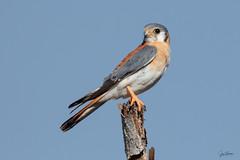 Cuyaya, Cernícalo, American Kestrel (Falco sparverius) (Juan Alberto Taveras) Tags: cuyaya cernícalo americankestrel falcosparverius kestrel