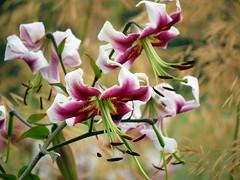 Lilies (Matt C68) Tags: lily flower oxford oxforduniversity oxforduniversitypark park