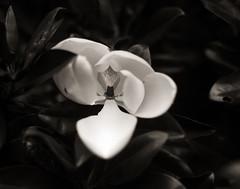 Magnolia (efo) Tags: bw film largeformat 4x5 speedgraphic kodakaeroektar stilllife botanical magnolia blossom dark tmax100 d76
