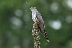 Cuckoo (robin elliott photography) Tags: cuckoo cuculuscanorus bird birds nature outdoors outside rain wet raindrops fathers
