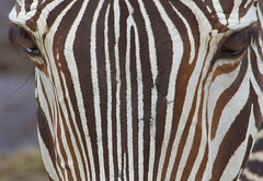 Close Up Stripes (joiseyshowaa) Tags: animal zoo eyes lowrey park tampa florida fl fla forehead horse stripes grevy black white equine equus coat