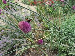 Red Admiral on allium (Granpic) Tags: suffolk aldeburgh aldeburghhospital sensorygarden butterfly redadmiral vanessaatalanta