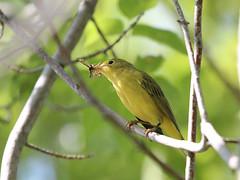 Paruline jaune - Yellow warbler (sysmik.yves) Tags: parulinejaune yellowwarbler warbler paruline ngc
