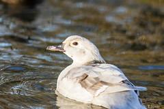 20181225_Vincennes_Canard carolin-2 (thadeus72) Tags: aixsponsa anatidae anatidés ansériformes aves birds canardcarolin oiseaux woodduck