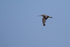 Curlew (Numenius arquata) (Mibby23) Tags: curlew numenius arquata bird flight wildlife nature cley marshes canon 5dmk4 sigma 150600mm contemporary