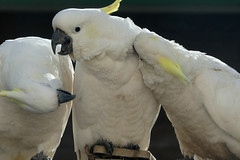 Threesome (PhotosbyDi) Tags: cockatoos sulphurcrestedcockatoos cockatoo bird backyardbirds australia panasoniclumix panasonicfz300 lumixfz300