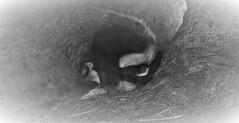 sleeping badger (Bushcraft.Eure) Tags: meles wildlifephoto wildlifephotography normandie normandy birds animals france wild sony oss sonya6000 sonye epz18105mmf4goss 18105mm familier sel18105g ilce6000 melesmeles blaireau badger blackandwhite black white european europeanbadger sleeping sleep bw