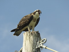 Juvi Osprey lands with a fish of her own
