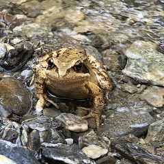 Grasfrosch (Rana temporaria) - Ried, Tirol (jens.lilienthal) Tags: österreich tirol austria alps austrian summer 2019 alpen gebirge mountains urlaub sommer vacation tyrol grasfrosch rana temporaria ried im oberinntal frosch amphibien frog common water creek bach gebirgs
