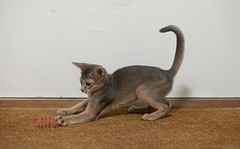 Kitten and Play Spiral 5 (peter_hasselbom) Tags: cat cats kitten kittens abyssinian blue 11weeksold play game hunt spiral redspiral doormat flash 1flash 105mm