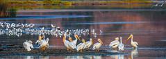 Morning breaks over Useless Bay (wesleybarr1962) Tags: whitepelicans gulls terns americanwhitepelicans pelecanuserythrorhynchos sunrise uselessbay