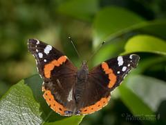 Red admiral (Vanessa atalanta) (Nanooki) Tags: ©suelambertlrpscpagb redadmiral vanessaatalanta butterfly wildlife wild nature sussex wakehurstplacegardens