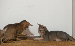 Kitten and Play Spiral 2 (peter_hasselbom) Tags: cat cats kitten kittens abyssinian blue 11weeksold play game hunt spiral redspiral doormat flash 1flash 105mm 2cats 2kittens twocats twokittens ruddy usual