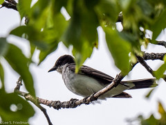 Eastern Kingbird 073119 (Lee S. Friedman) Tags: easternkingbird parks ramshornlivingstonsanctuary