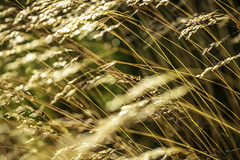 Coastal Wheat Grass 1 (Mabry Campbell) Tags: europe gothenburg göteborg storaamundön amber brown grass image intimatelandscape motion movement nature photo photograph f35 mabrycampbell july 2019 july162019 20190716campbellh6a1193 100mm ¹⁄₈₀₀sec 100 ef100mmf28lmacroisusm
