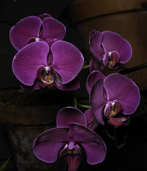 Purple Orchids In The Potting Shed (Bill Gracey 24 Million Views) Tags: flowers flores fleurs purple orchids botanicalgardens softbox balboapark sidelighting offcameraflash lightondark yongnuo lastoliteezbox yongnuorf603n