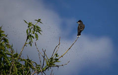 Eastern kingbird (soniamarmen) Tags: tyrantritri nature birds easternkingbird