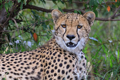 One of the Five Musketeers (Xenedis) Tags: acinonyxjubatus africa afrika animal bigcat cat cheetah coalition duma eastafrica fastfive fivemusketeers grass kenya maasaimara maasaimaranationalreserve narokcounty plains republicofkenya riftvalley safari wildlife