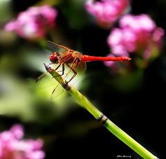Cardinal Dragonfly on Horsetail 2019 (Ethan.Winning) Tags: cardinalmeadowhawkdragonfly flameskimmer heatherfarmnaturereserve mtdiablowalnutcreekca horsetailgrass odonata conservation cethanwinning canonsx50