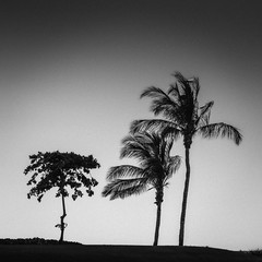 Three Trees at the Tail of the Whale (Mabry Campbell) Tags: jacknicklaus mexico nayarit puntamita rivieranayarit tailofthewhale blackandwhite coast coastal fineart golfcourse image island landscape photo squarecrop touristattraction trees f56 mabrycampbell november 2018 november212018 20181121mexicocampbelldscf3341 35mm ¹⁄₂₂₀₀sec 200 xf35mmf2rwr