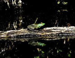 Saturday's frog (EcoSnake) Tags: americanbullfrog lithobatescatesbeiana frogs amphibians profile reflection summer august water wildlife idahofishandgame naturecenter