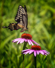 All a-Flutter (Portraying Life, LLC) Tags: da3004 hd14tc k1mkii michigan pentax ricoh topazaiclear unitedstates butterfly closecrop handheld nativelighting meadow coneflower feeding count