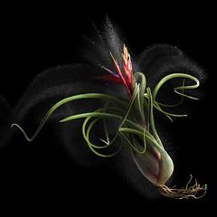 Tillandsia (Pixel Fusion) Tags: nature nikon flora flower aperture macro d600 photoshop tillandsia
