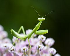 Aphid patrol (back stage) Tags: prayingmantis mantis milkweed swampmilkweed insect garden pink green springfield mo