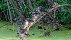 IMG_3325 (brian.a.stamper) Tags: aixsponsa animal bird woodduck stlouis missouri unitedstatesofamerica