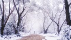 Telegraph Road (Emerald Imaging Photography) Tags: narrowneck thebluemountains bluemountains katoomba redgums gumtrees snow blizard firetrail sydney newsouthwales nsw australia australian australianlandscape australianbush winter fog sunrise walking walkingman