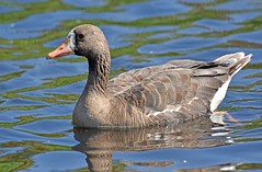Where do I fit in? (Snixy_85) Tags: goose greaterwhitefrontedgoose anseralbifrons
