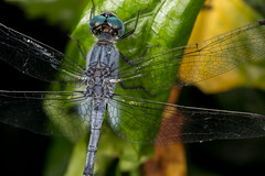 Dragonfly (zosterops) Tags: odonata australia queensland cairns macro insecta canoneos6d