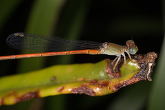 Damselfly (zosterops) Tags: odonata australia queensland cairns macro insecta canoneos6d