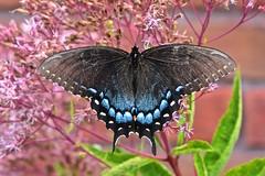 Eastern Tiger Swallowtail (deanrr) Tags: 2019 backyardbutterfly butterflyonflower nature outdoor babyjoepyeweed summer morgancountyalabama alabama